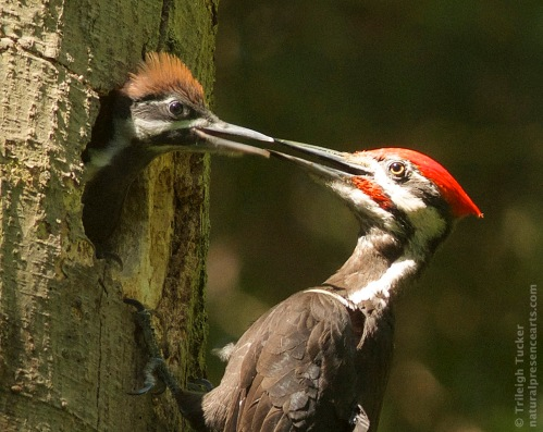 Pileated Woodpecker dad feeding daughter
