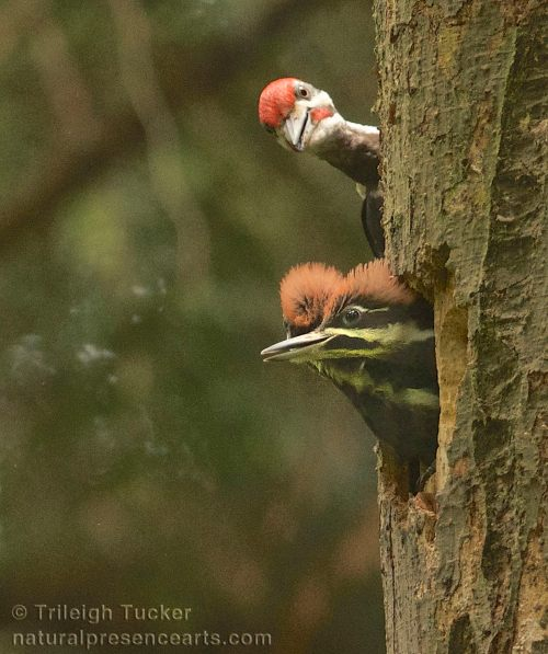 Father Pileated Woodpecker arrives to feed daughters