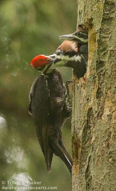 Parent feeds nestling