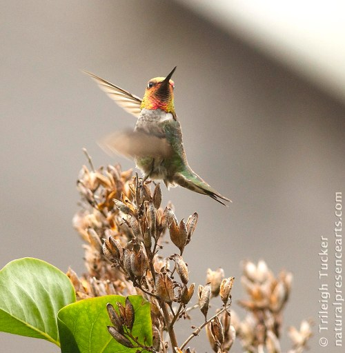 Dancing Anna's Hummingbird on lilac seedhead
