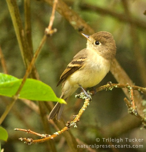 Pacific-slope Flycatcher on lilac