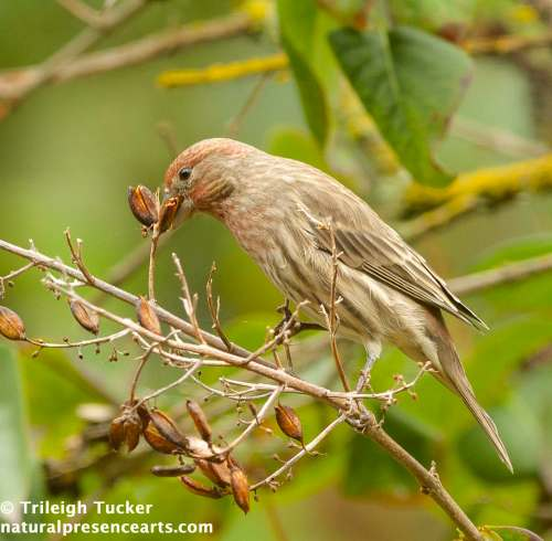House Finch eating lilac seed