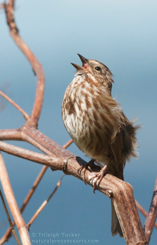Song Sparrow in full voice