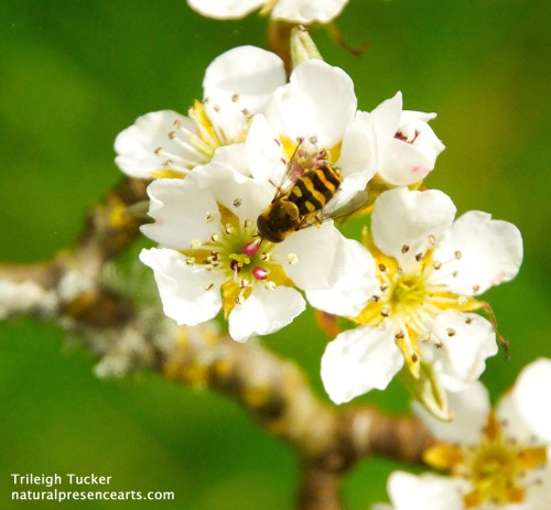 Pollinator on pear flower