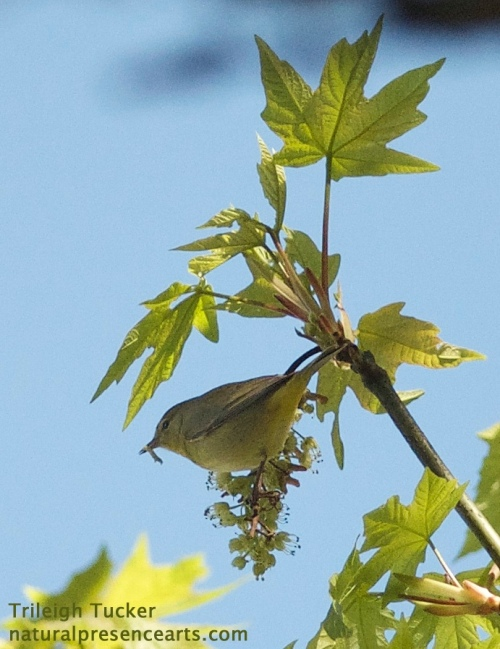 First Orange-crowned Warbler of the year, who has just caught a grub (small caterpillar).