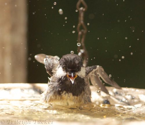 Young Black-capped Chickadee splashing in birdbath