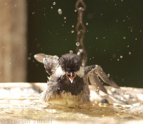 Young Black-capped Chickadee splashing in birdbath