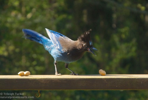Steller's Jay discovers peanut gifts