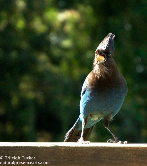 Steller's Jay moving peanut into crop