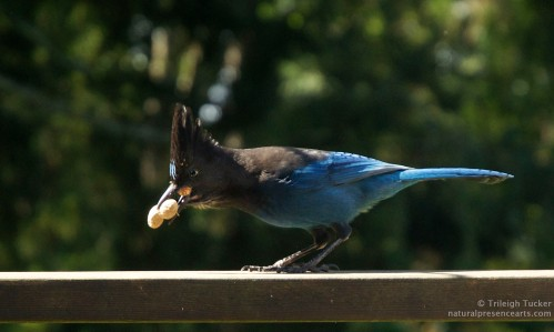 Steller's Jay picking up second peanut - note bulge of first peanut in crop.
