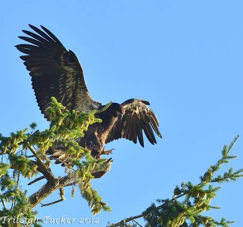 Young eaglet practicing balancing skills near nest, shortly after fledging. (Taken on Lughnasa 2012)