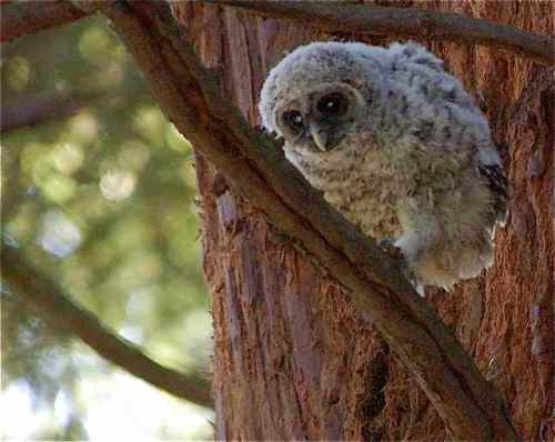 """Young Barred Owl walking a """"tightrope"""""""