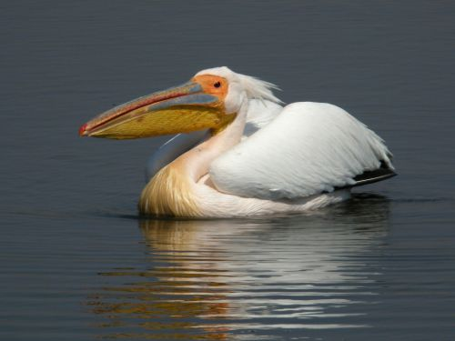 Great White Pelican - note red tip of beak. Photo by Frank Vassen [CC BY 2.0 (http://creativecommons.org/licenses/by/2.0)], via Wikimedia Commons.