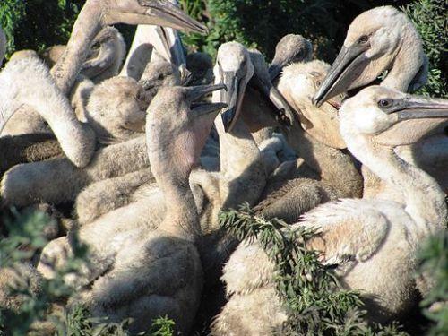 american_white_pelican_creche_7462472830