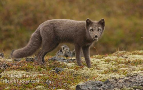 "Arctic Fox with ""fangs"" of gull feathers"