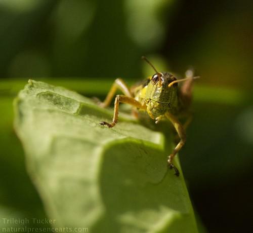 Grasshopper, Cascades Mountains