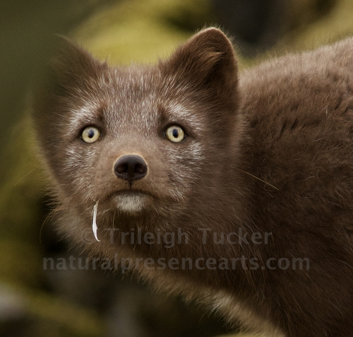 Arctic Fox, Iceland