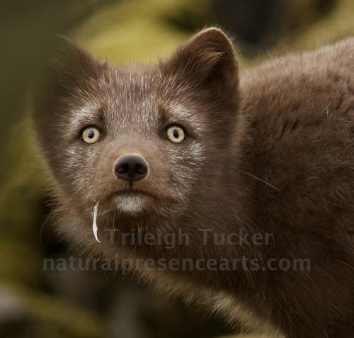 Arctic Fox, Iceland